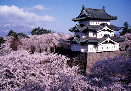 Sakura-flor-Japon