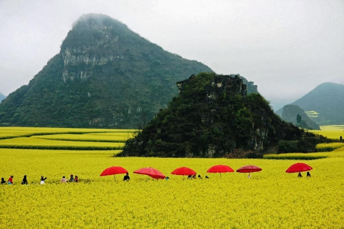 Un mar dorado en China, los campos de flores canola
